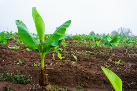 Banana plantation. Banana Farm. Young banana plants in rural farm in the moring.