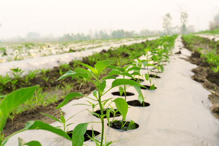 Planting crops with mulching, planting chillies, chilli trees in the garden, plenty of space. Stock Photo