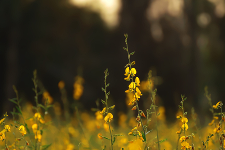 Crotalaria juncea, SunHemp is a plant that can be grown to nourish the soil and also has beautiful flowers. Stock Photo