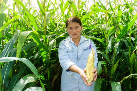 New corn yield in the hands of the farmers.