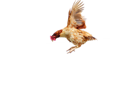 Chicken flies on a white background, cock spreading on the air. 免版税图像