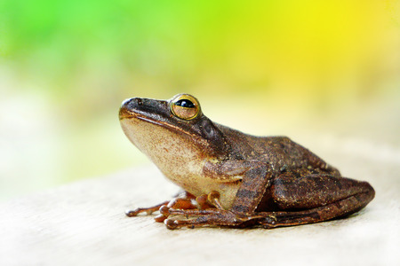 A tree frog is any species of frog that spends a major portion of its lifespan in trees, known as an arboreal state. Several lineages of frogs among the Neobatrachia have given rise to tree frogs, alt