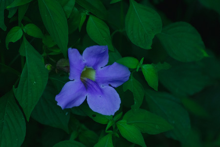 Thunbergia laurifolia Herb flower is a medicinal variety on hand.