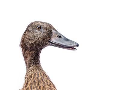 Brown Khaki Campbell Ente auf weißem Hintergrund.