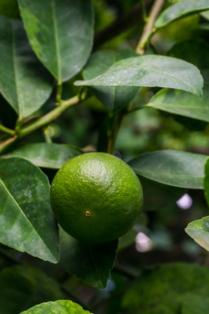 Green limes on a tree. Lime is a hybrid citrus fruit, which is typically round.