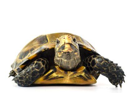 "Inland turtles in Asia are called ""Impressed tortoise, Manouria impressa "" isolated on white Banco de Imagens"