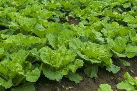 Chinese cabbage is grown in a fully grown vegetable plot,Cabbage,Chinese cabbage of plant on mountain,Thailand. 版權商用圖片