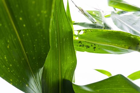 Corn leaf damaged by fall armyworm Spodoptera frugiperda.Corn leaves attacked by worms in maize field. Фото со стока
