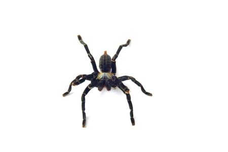 Asian species Tarantula spider Found in Thailand, the scientific name is Haplopelma minax Theraphosidae Haplopelma.