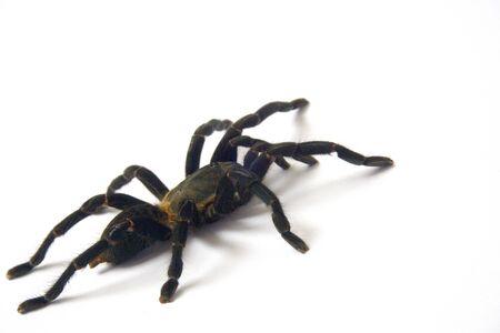 Asian species Tarantula spider  Found in Thailand, the scientific name is Haplopelma minax Theraphosidae Haplopelma. Reklamní fotografie