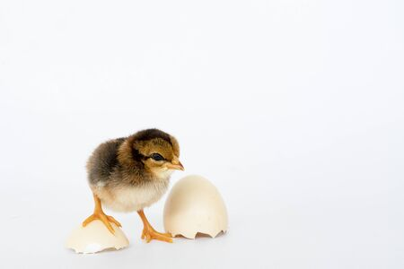 little black chicken isolated on white background,Chicks just born.