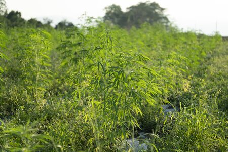 One of the first legal Industrial Hemp Farms growing Cannabis sativa for CBD and fiber products