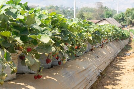 New harvest of sweet fresh outdoor red strawberry, growing outside in soil.