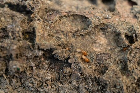 Dry-Wood Termites on the old wood rotting