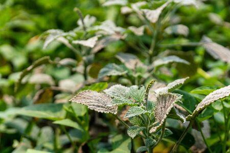 Powdery mildew, a garden fungus disease, on green leaves