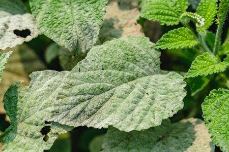 Powdery mildew, a garden fungus disease, on green leaves.