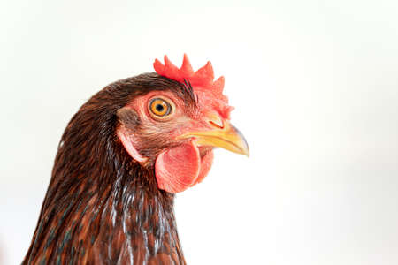Isolated brown hen on a white background , Side view image.