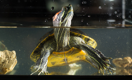 Young turtle sitting in aquarium Banco de Imagens
