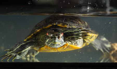 Young turtle sitting in aquarium Stock Photo