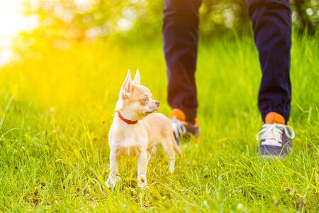 Close up photo of leg young man walking with puppy chihuahua dog in the summer park. Obedient pet with his owner.