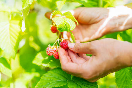 Cropped hand of adult woman picking raspberries from plant at farm. Closeup of raspberry cane. Summer garden in village. Growing berries harvest at farm. 免版税图像