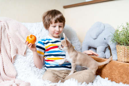 Chihuahua dog licks little laughing childs face on couch with blanket. Portrait of a happy caucasian kid boy eat apple hugging a puppy at cozy home on sofa and play together. Stay at home concept.
