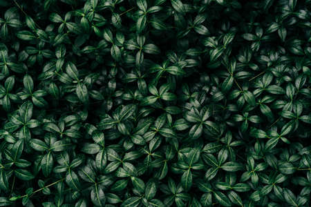 Dark green leaves pattern background, Natural background and wallpaper. Black tropical abstract green grass texture. Ornamental plant in the garden. Eco wall. Organic natural background Banque d'images