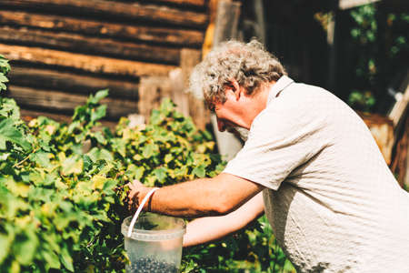 Mature adult farmer harvesting herbs on an organic garden during the sun outdoors. Concept of growing organic products and active retirement Banque d'images
