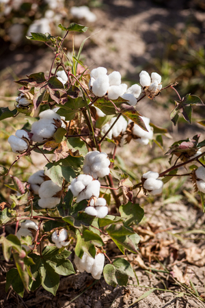 cotton bud: agriculture. Cotton on the plantation