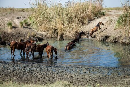 bathed: horses are bathed in the irrigation ditch Foto de archivo