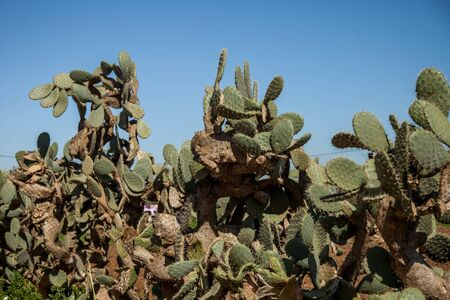 cacti in the Moroccan desert
