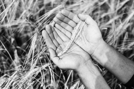 the ear of wheat in hands