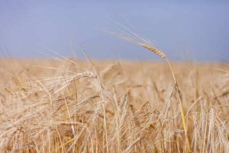 ripe Golden wheat in the field, wheat ears