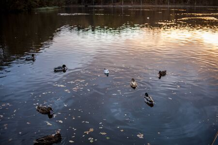 a pond with ducks at sunset Stockfoto
