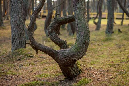 crooked tree trunks in the forest Stockfoto