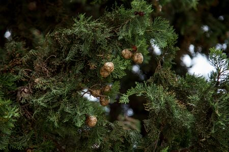 coniferous trees with short needles