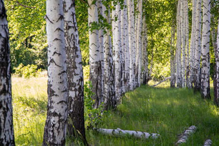 white birches in the forest area