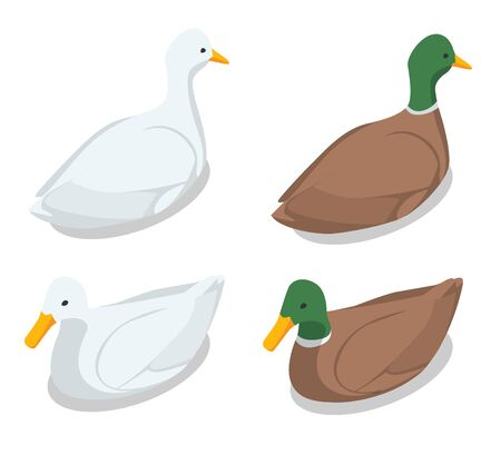 Isometric illustration of a duck and a drake on a white background 向量圖像