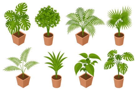 Isometric plant, palm trees in a pot isolated on white background. Decorative Areca palm in interior of room