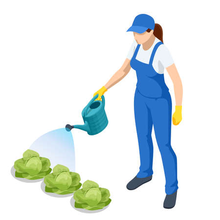 Agricultural work. Isometric farmer watering cabbage planting. Woman watering cabbage garden with water can. Farming activity of farmer. Work in the garden.