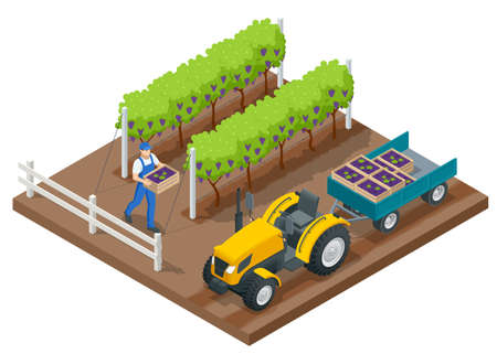 Isometric grape harvest, farmers harvesting grapes. Vineyard In Fall Harvest With Ripe Grapes. Tractor in the vineyard aftere the grapes are harvested. Oganic food and fine wine handmade