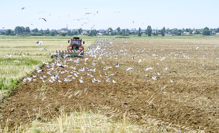 A farmer on a tractor plowing the land, surrounded by birds. Stock Photo