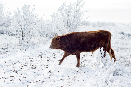 The Kalmyk breed cows on pasture. All vegetation covered with a thick layer of frost