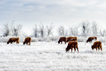 A herd of cows in the Kalmyk steppe in the winter. All vegetation covered with a thick layer of frost Stock Photo