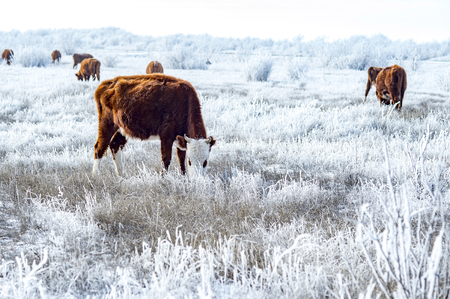A herd of cows in the Kalmyk steppe in the winter. All vegetation covered with a thick layer of frost.