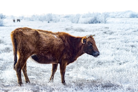 The Kalmyk breed cows on pasture. All vegetation covered with a thick layer of frost.