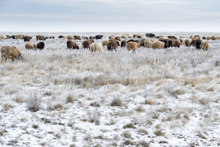 Flock of sheep on pasture in the winter.