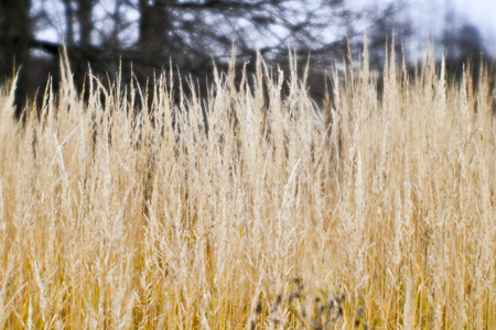 Autumn landscape from the dry stalks of tall grass and tree branches in the background. Shallow depth of field photos were taken on soft lens. Blurry