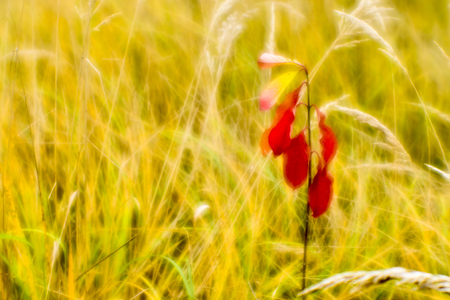 Red young Euonymus on the background of dry tall grass in the fall. Shallow depth of field photos were taken on soft lens. Blur.