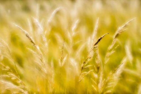 Soft background blur of dry grass in the fall. Closeup of wheat ears background. Shallow depth of field photos were taken on soft lens.